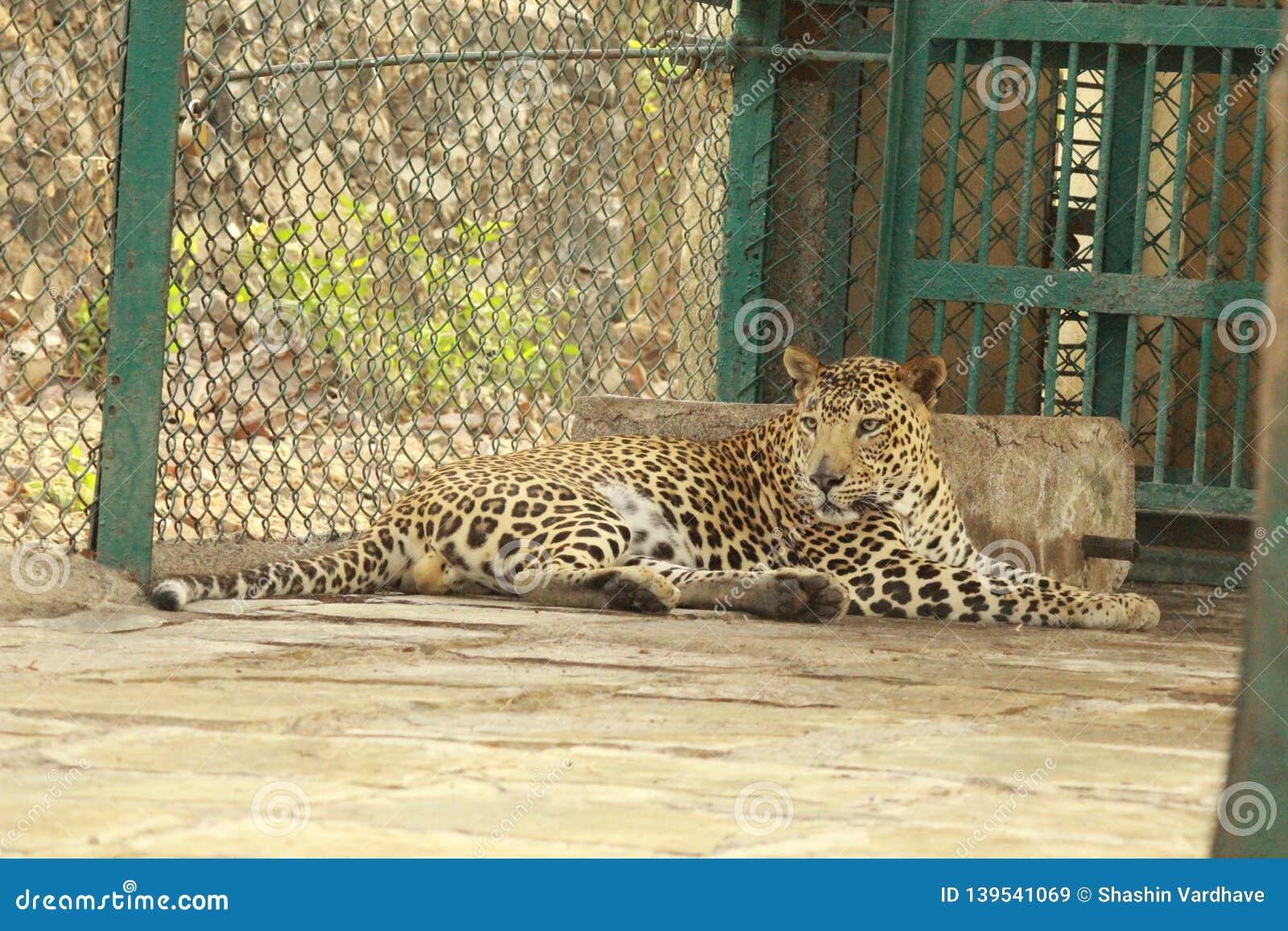 Leopard - Big Cat in SNGP, Mumbai