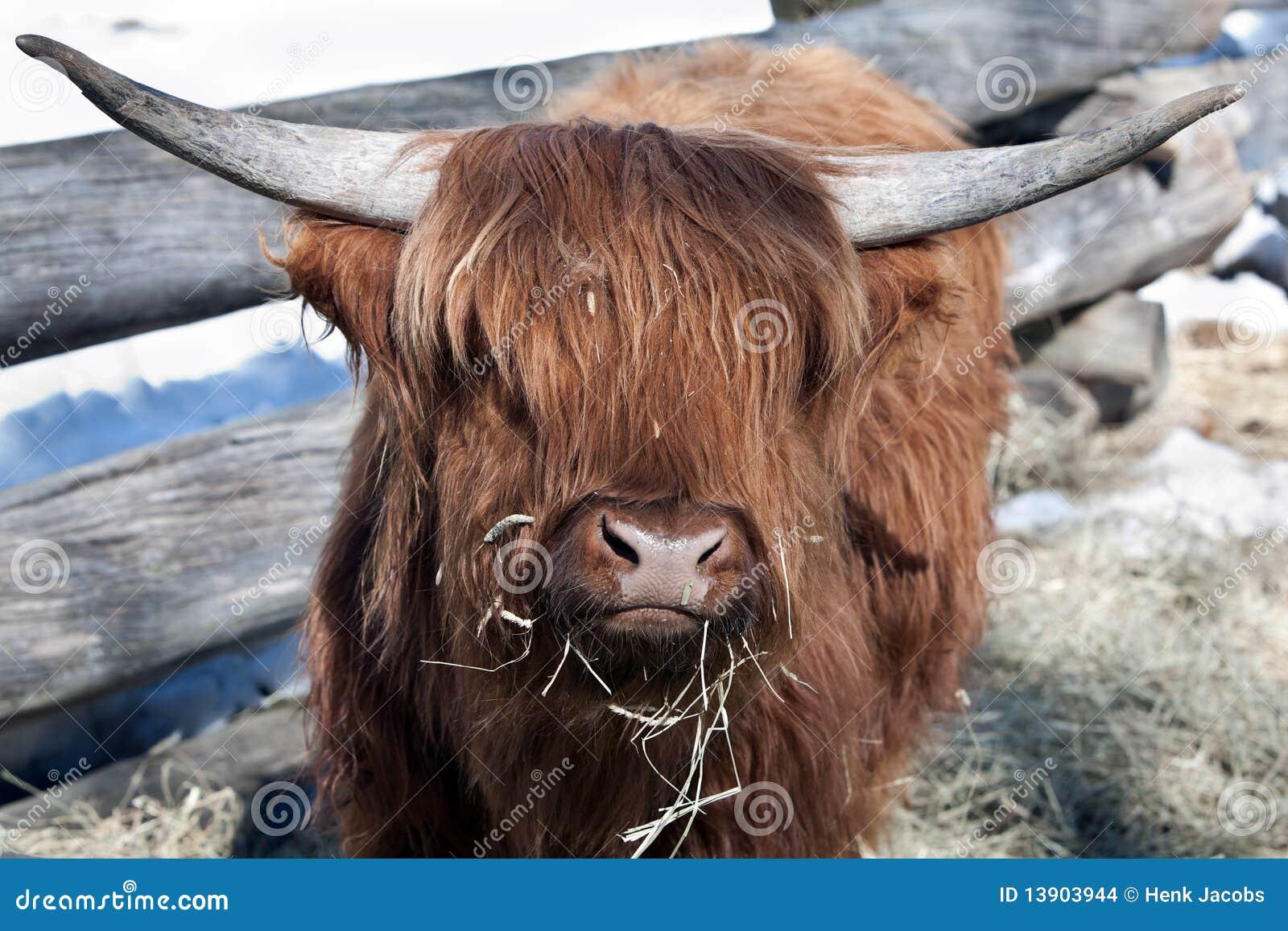 Iaques foto de stock. Imagem de animal, horned, mamífero - 13903944