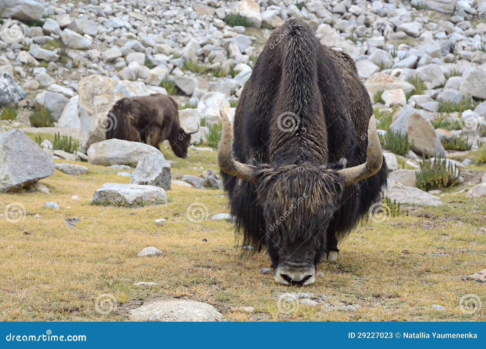 Download Iaques no pasto imagem de stock. Imagem de nave, livestock - 29227023