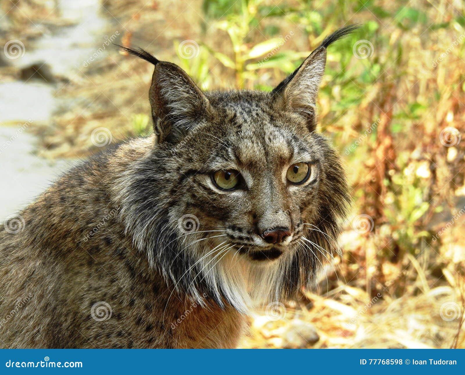 Iberic Lynx, Lince Iberico