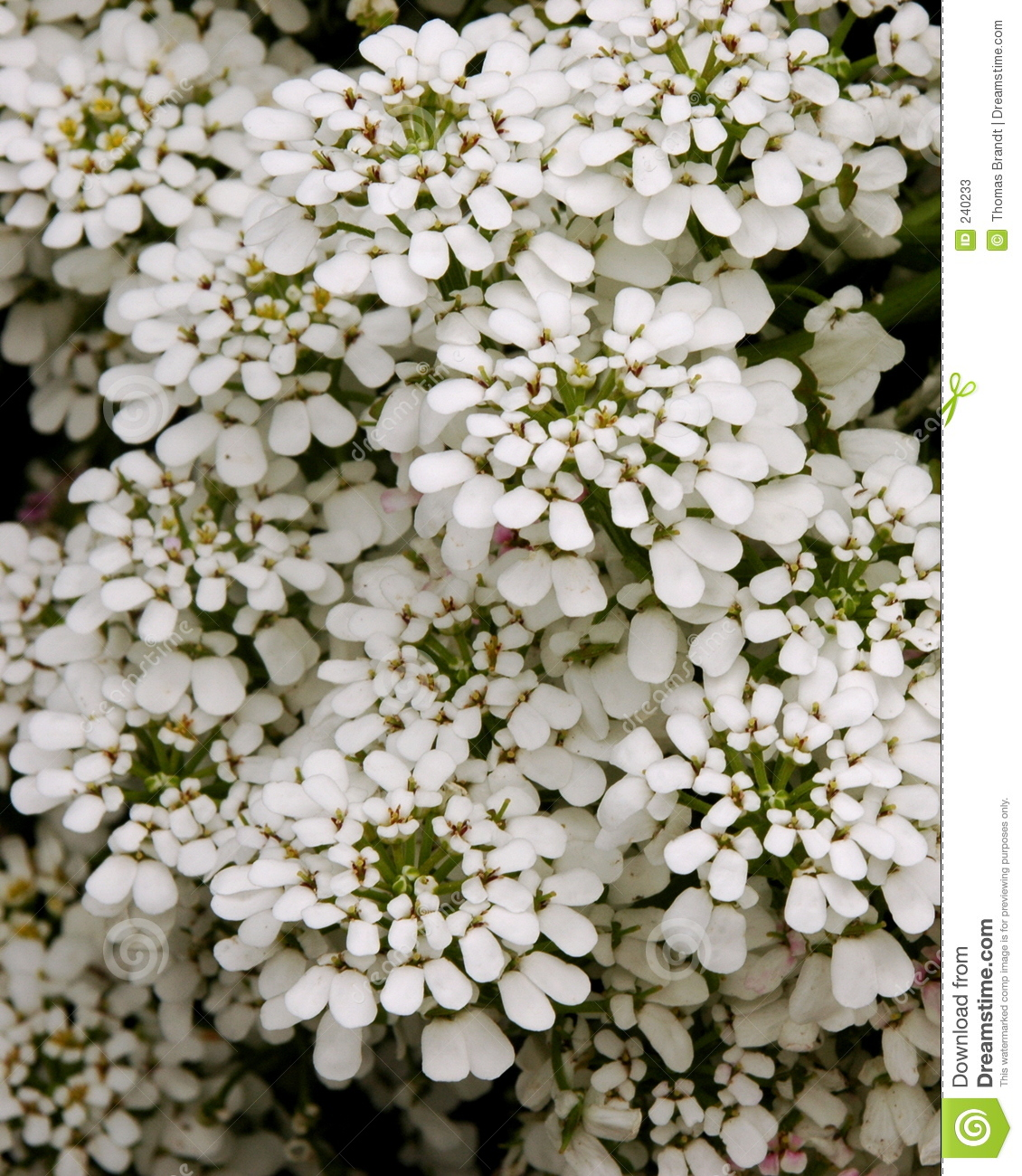 Perennial candytuft stock photos image 240233 for Iberis sempervirens