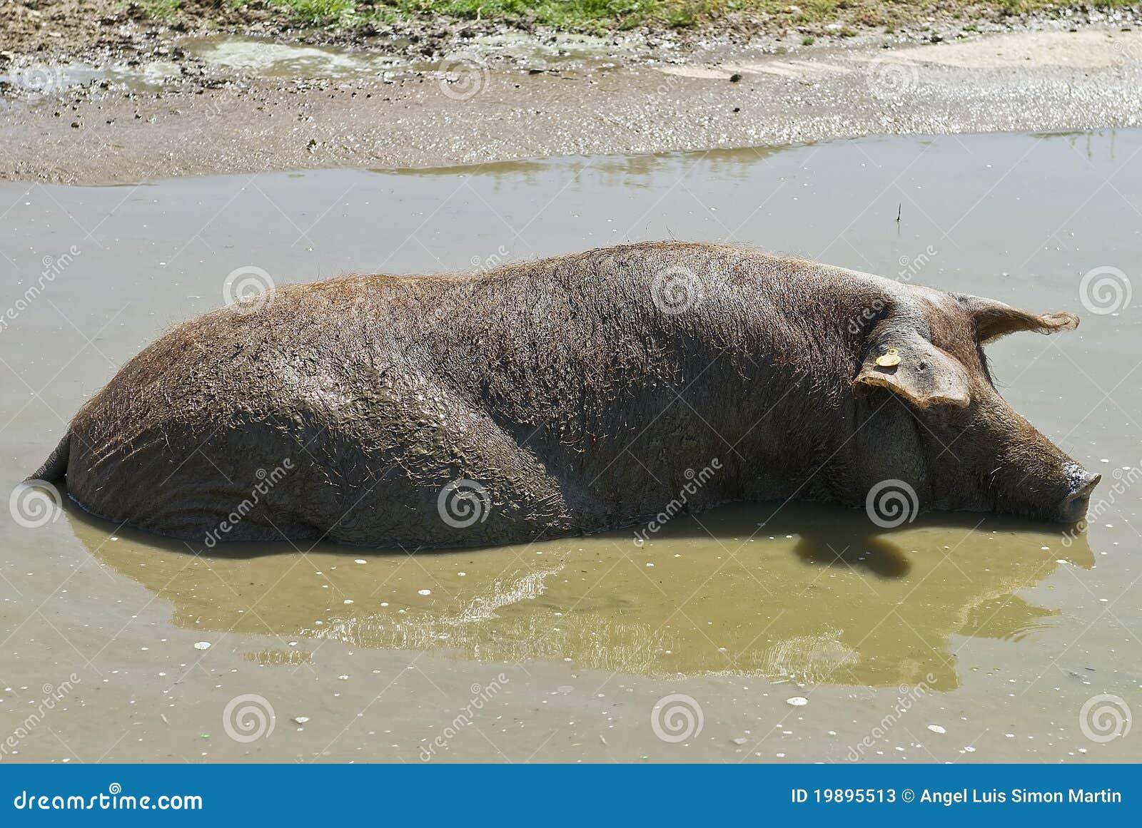 Iberisch varken dat een bad heeft stock foto 39 s beeld 19895513 - Foto in een bad ...