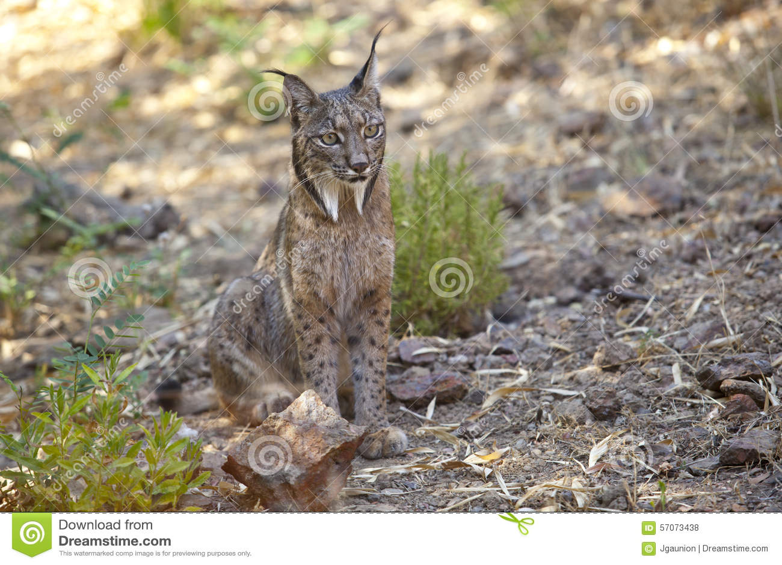 Iberische lynxzitting op alarm