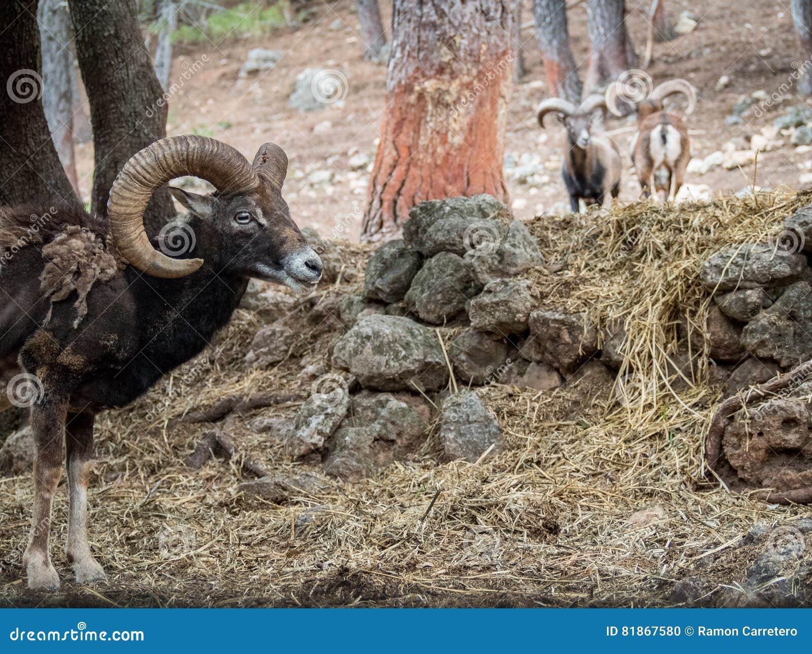 Iberische orientalis van mouflonovis musimon