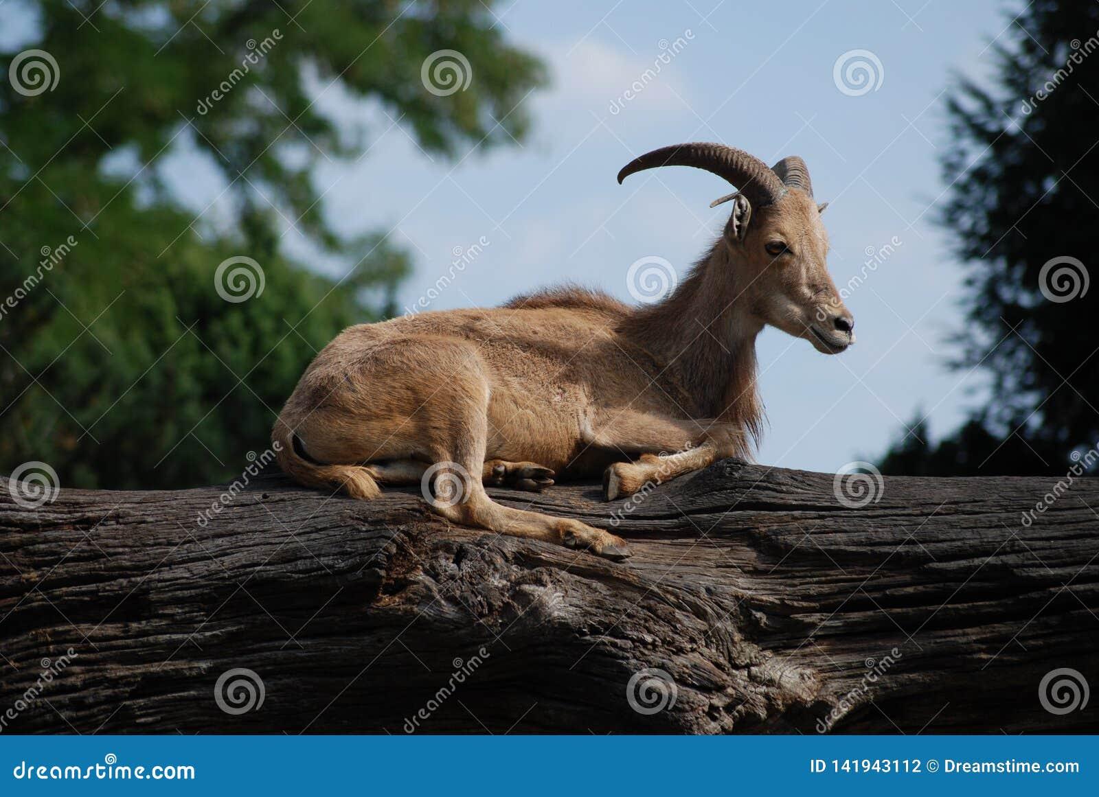 Iberischer weiblicher Steinbock, der auf einem Baumstamm im Zoo stillsteht