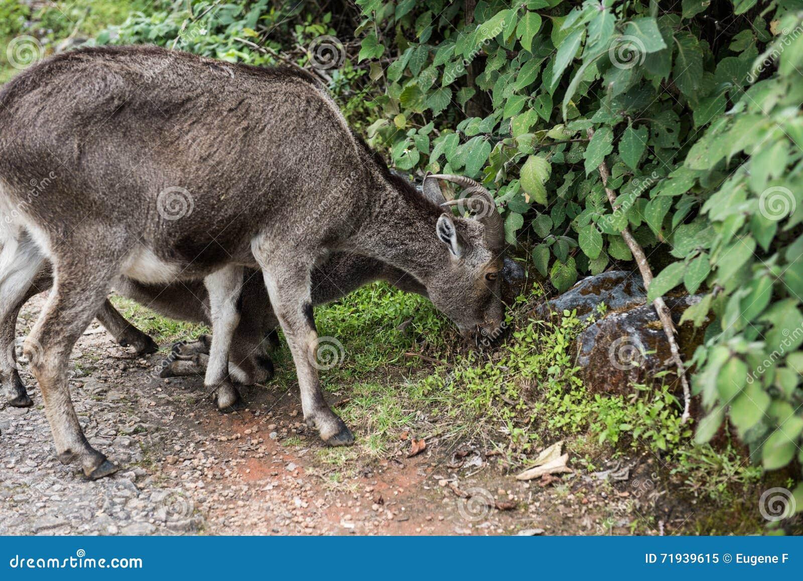 Ibex и икра Nilgiri