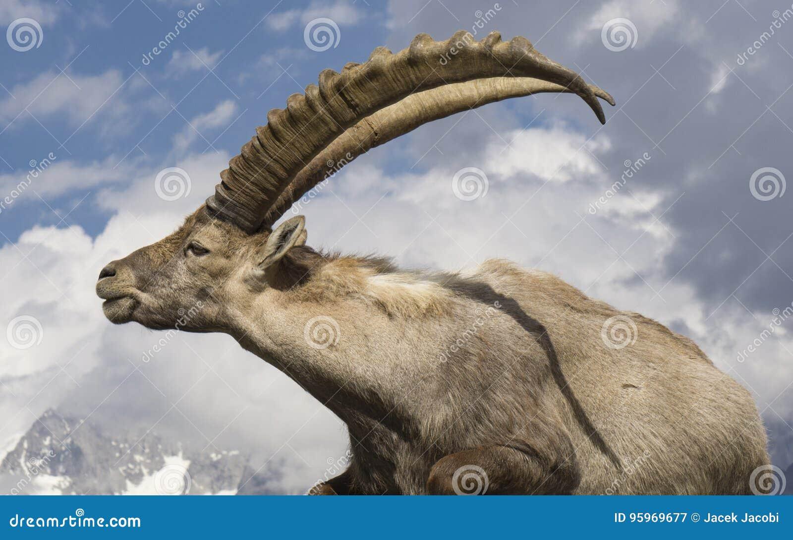 Ibex against the sky. Alps. France.