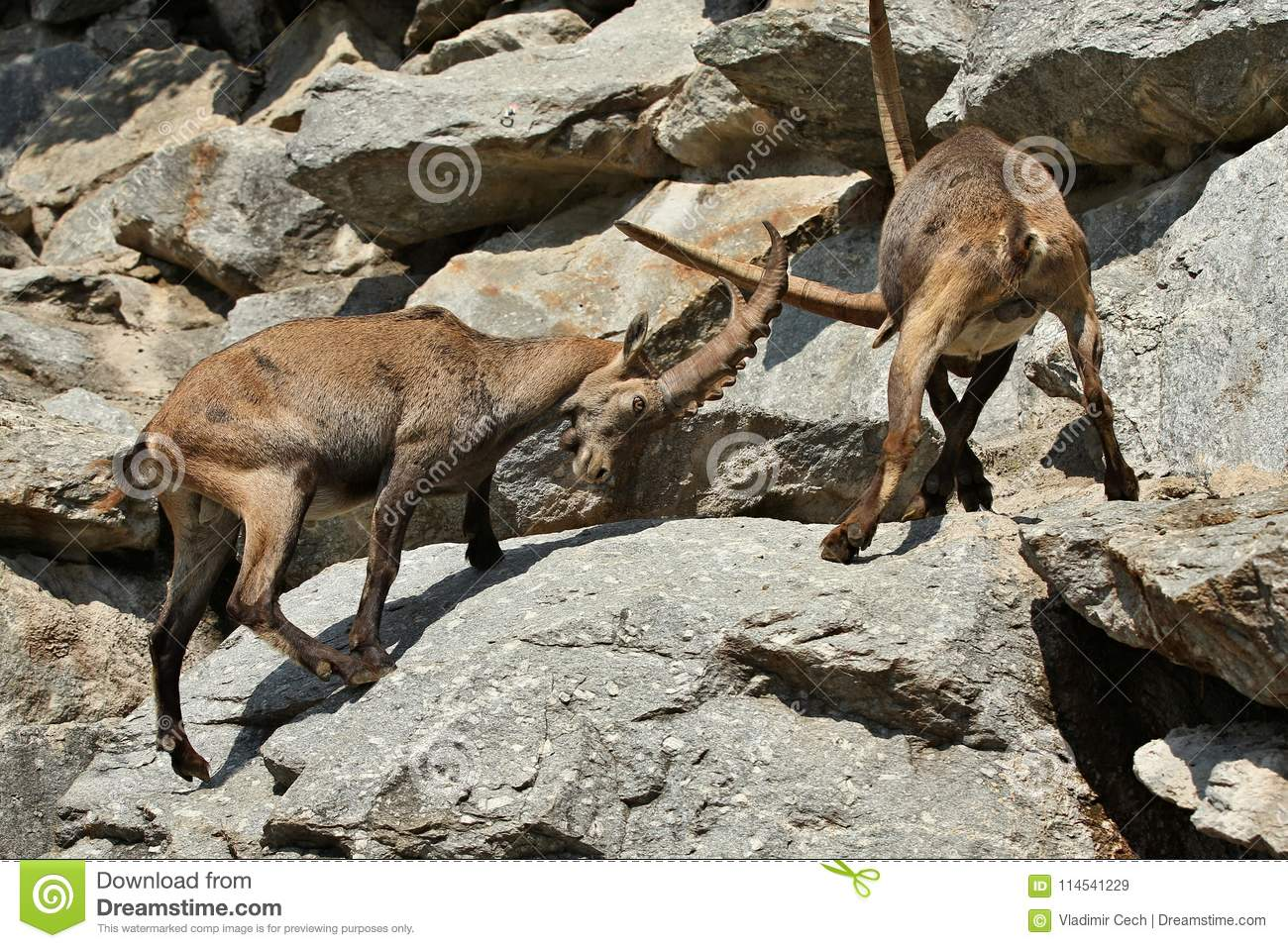 Ibex fight in the rocky mountain area.