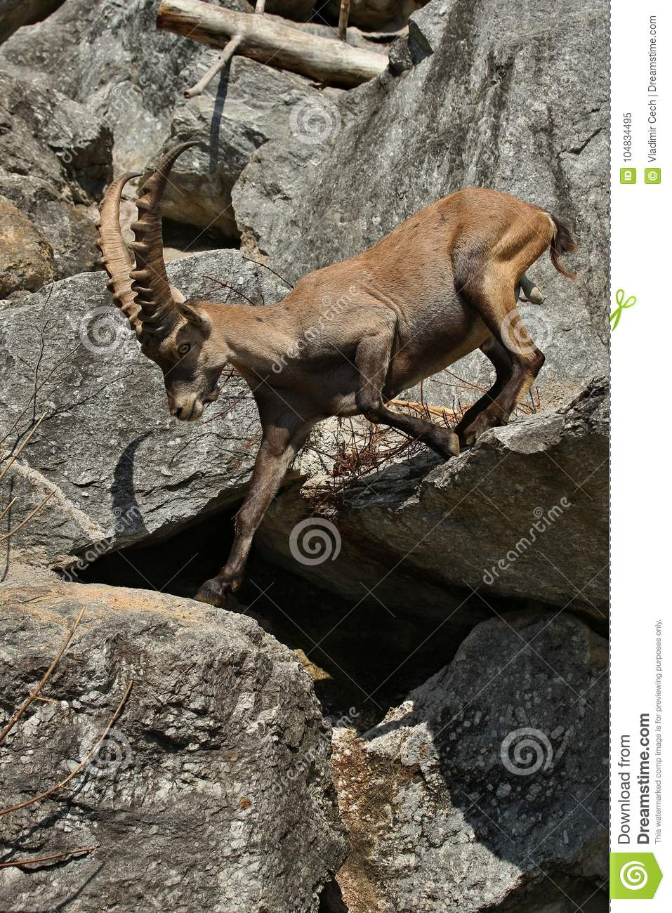 Ibex fight in the rocky mountain area