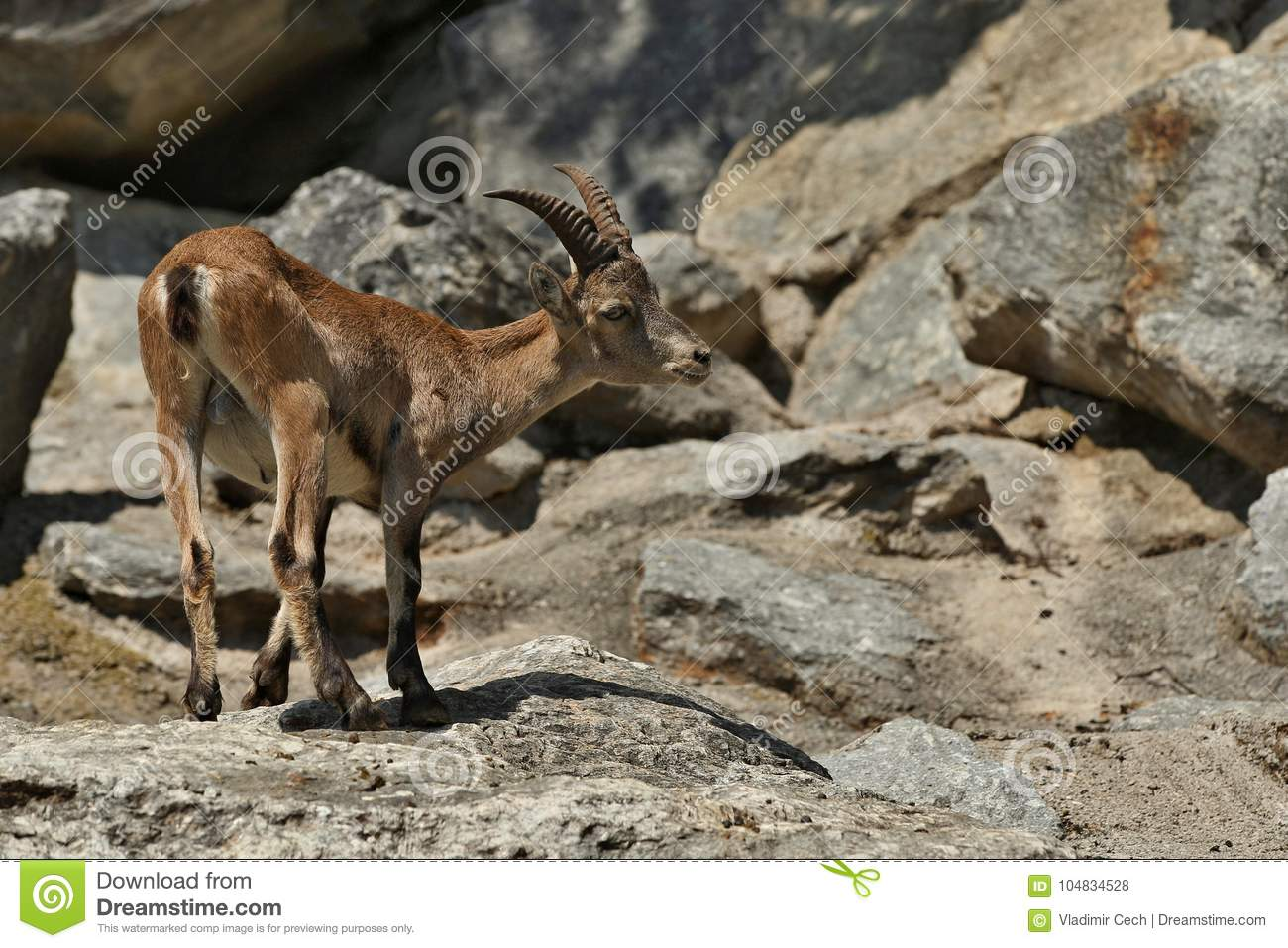 Ibex Fight In The Rocky Mountain Area Stock Photo - Image of europe