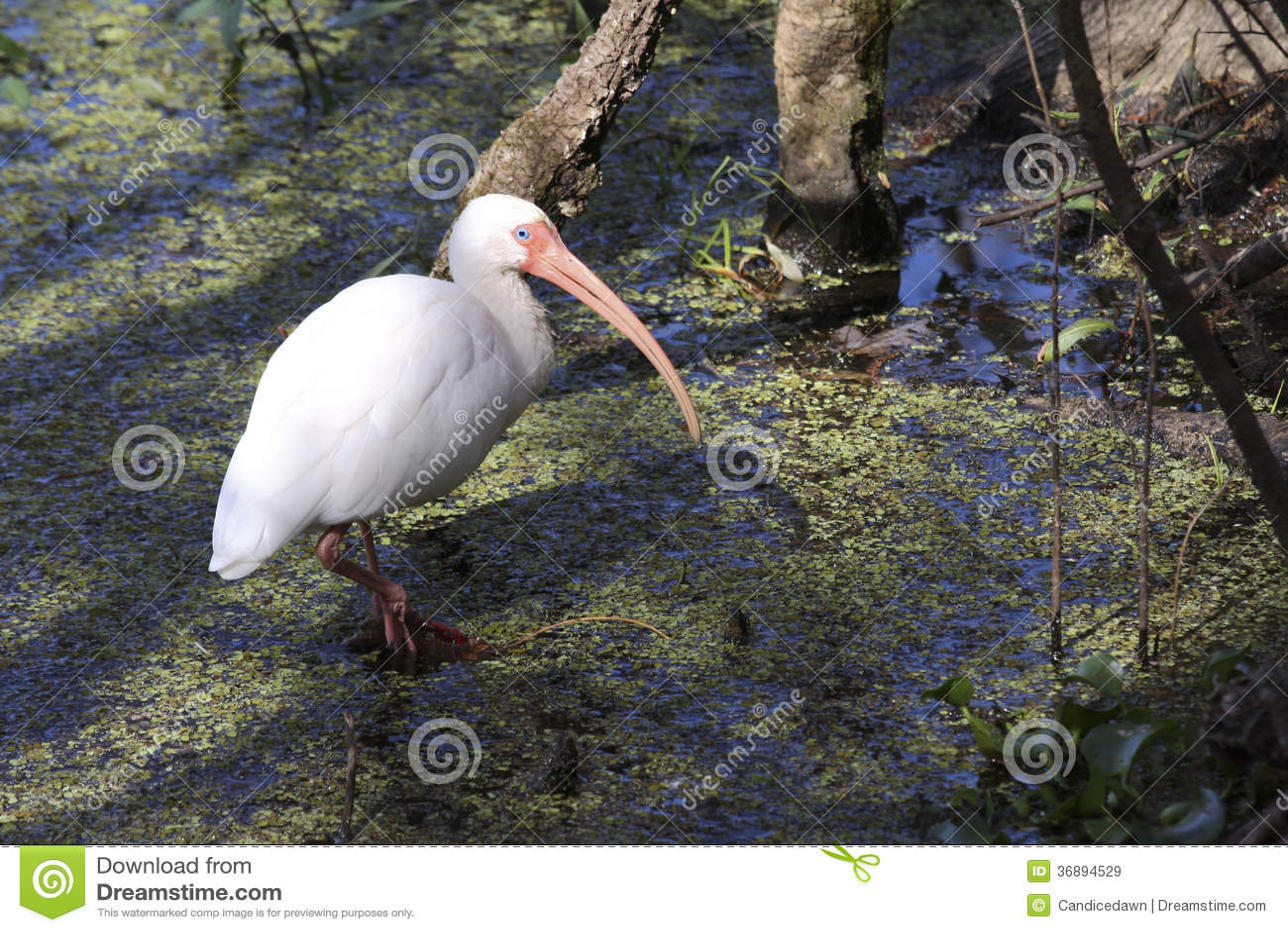 Download Ibis americano bianco immagine stock. Immagine di piume - 36894529