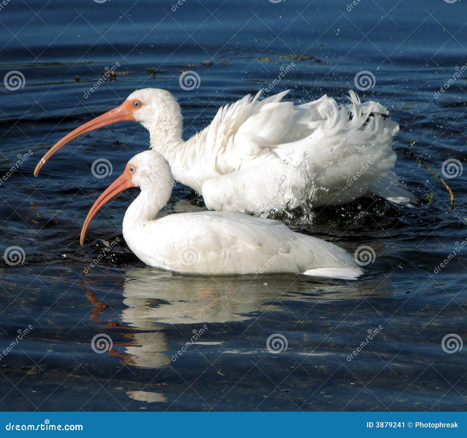 Ibis bianco americano che bagna