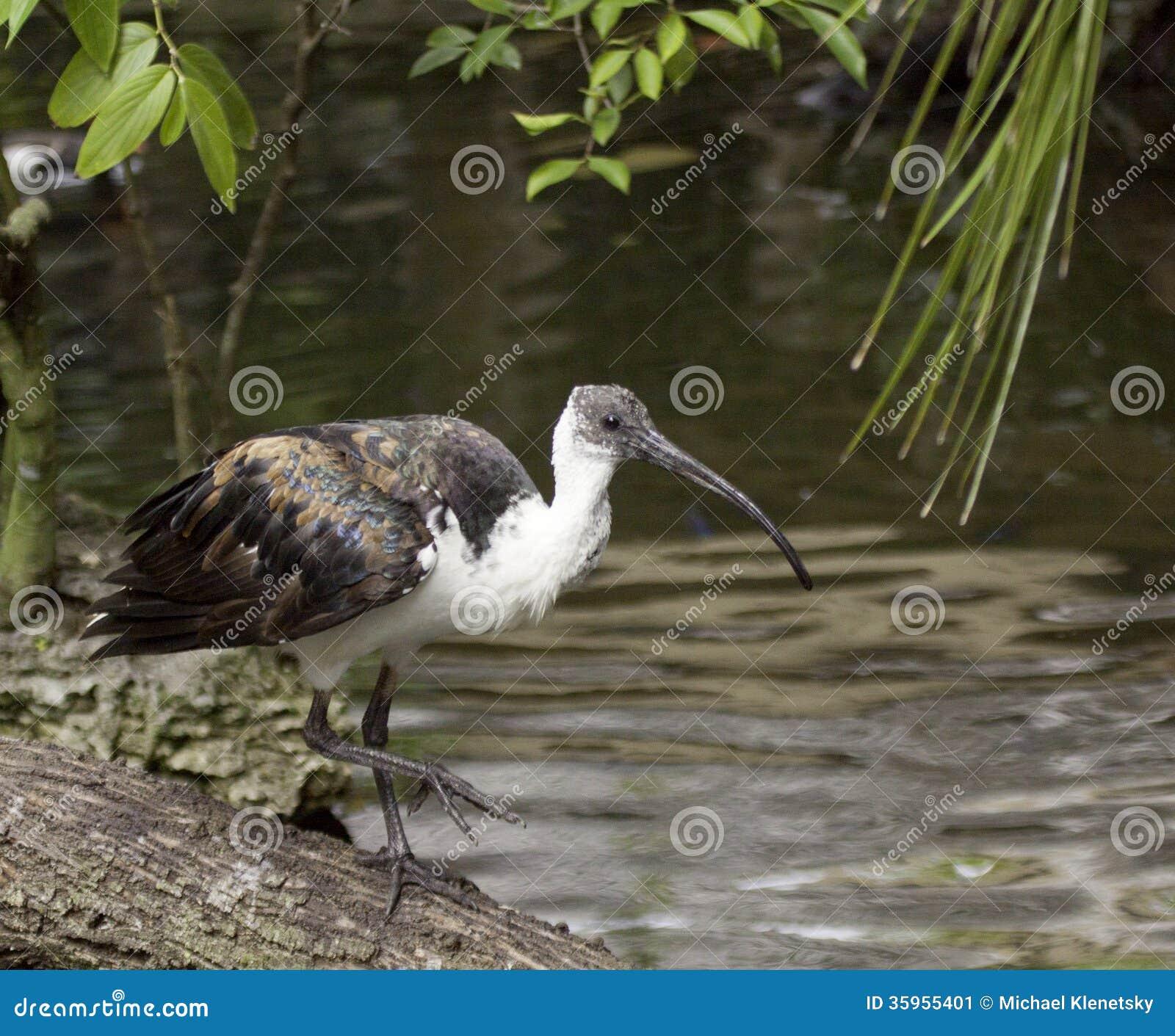 Ibis Paja-necked