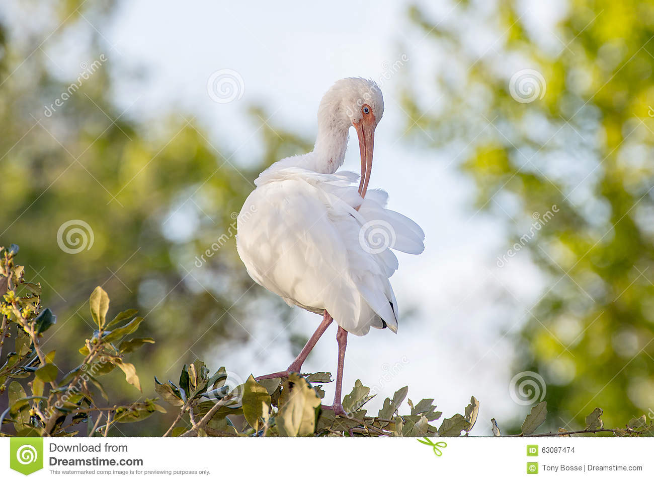 Download IBIS se lissant photo stock. Image du faune, animal, ailes - 63087474