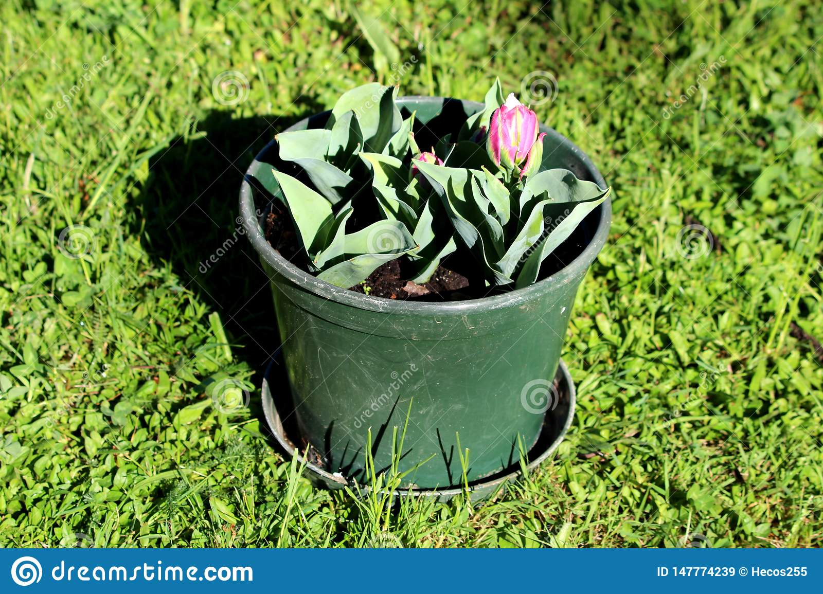 Ice cream tulip plants planted in small plastic green flower pot in local garden starting to open and bloom with pointy dark green