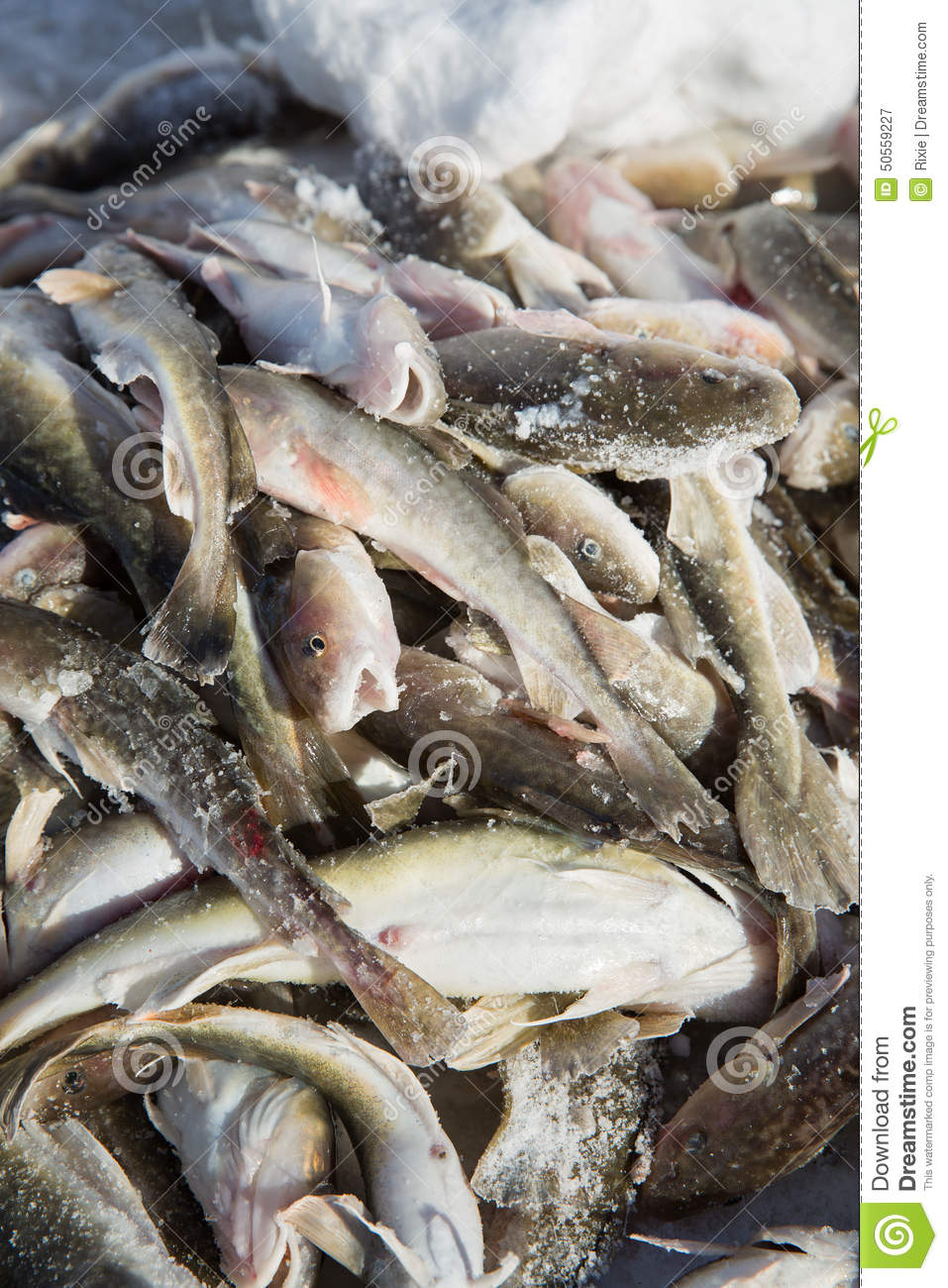 Ice fishing catch stock image image of seafood blood for Nys fishing license prices