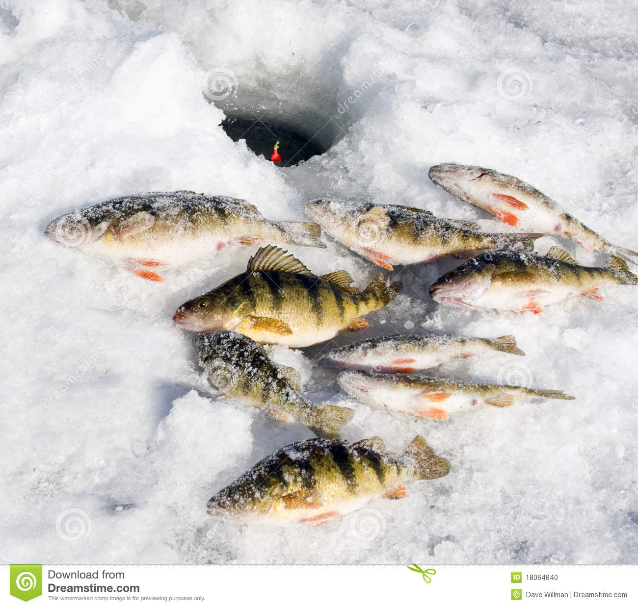 Ice fishing perch stock photo image 18064840 for Ice fishing perch