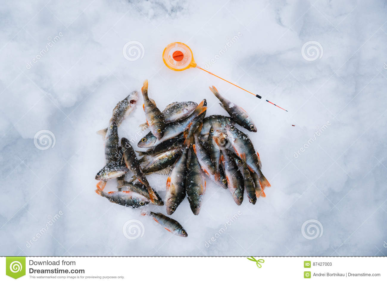 Ice Fishing  Perch Lie On The Ice With Sport Fishing Rod