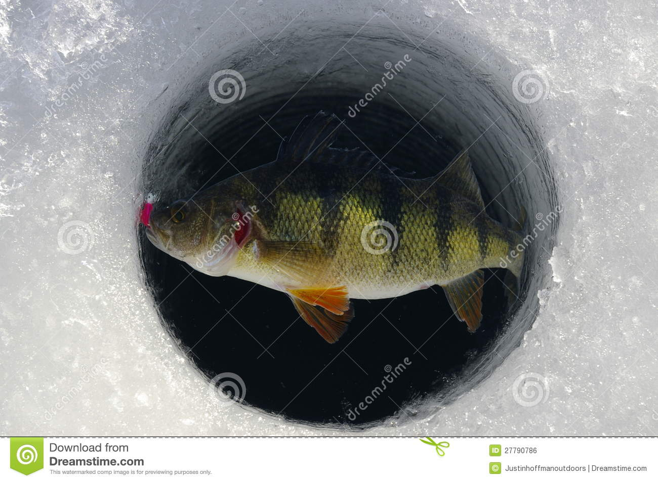 Ice fishing yellow perch royalty free stock image image for Ice fishing perch