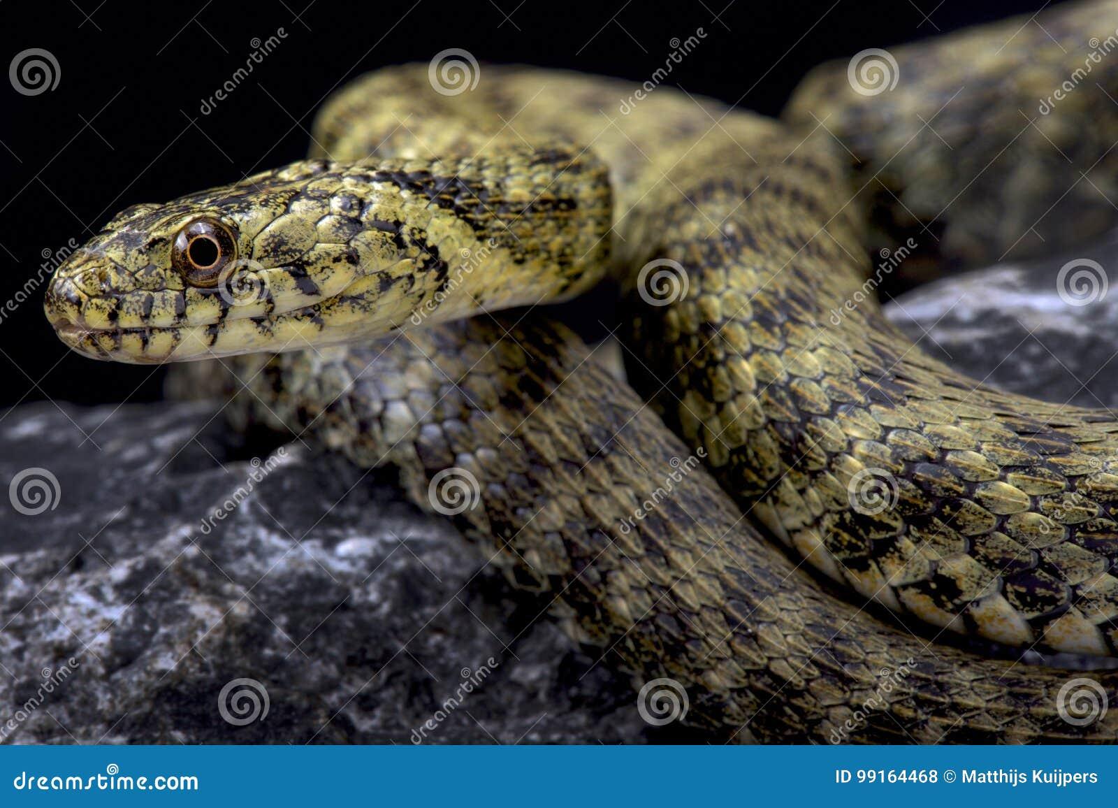 Dice snake, Natrix tessellata