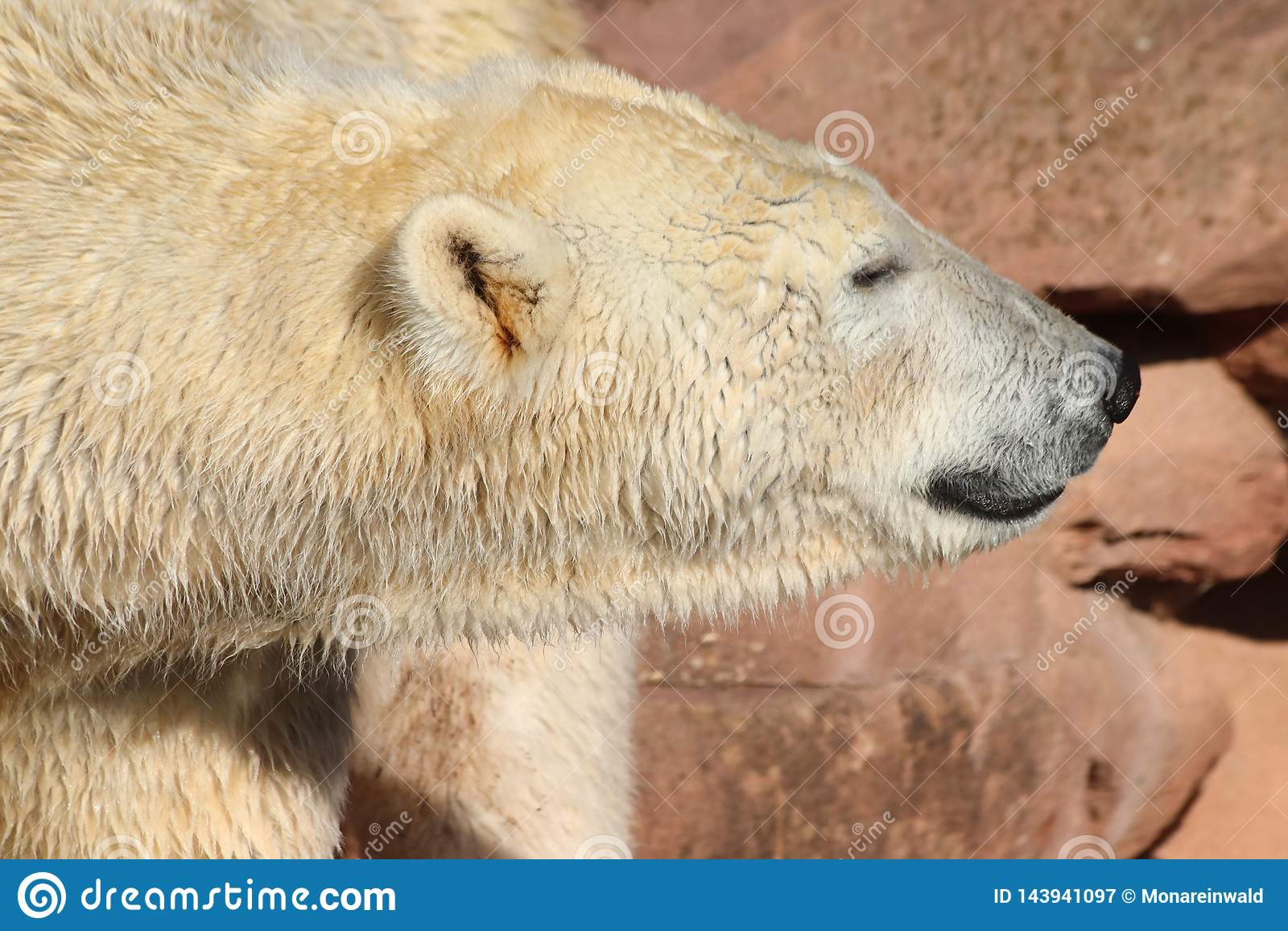 Icebear che cammina nello zoo in Germania a Norimberga