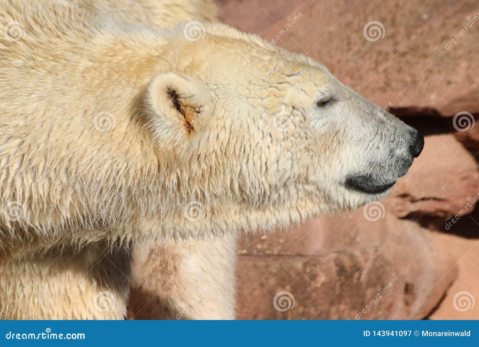 Icebear som går i zoo i Tyskland i nuremberg