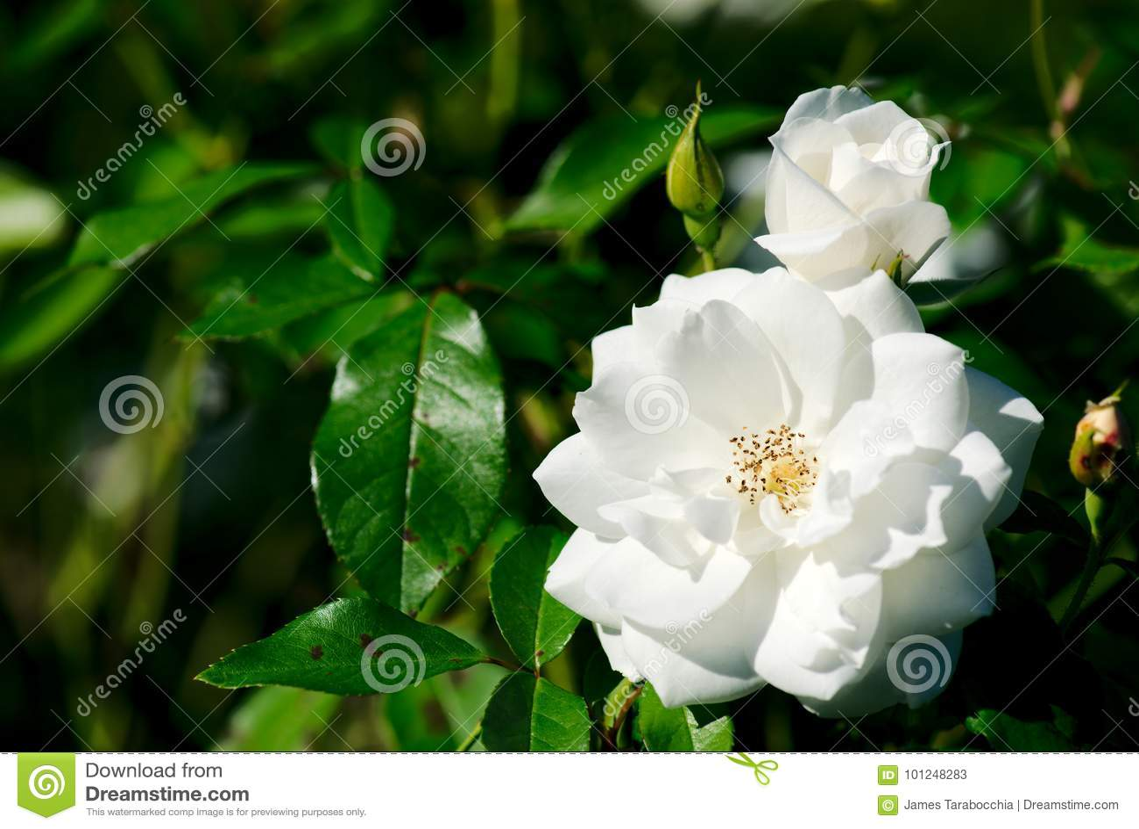 Iceberg Floribunda Rose Rosa Korbin flower plant bloom