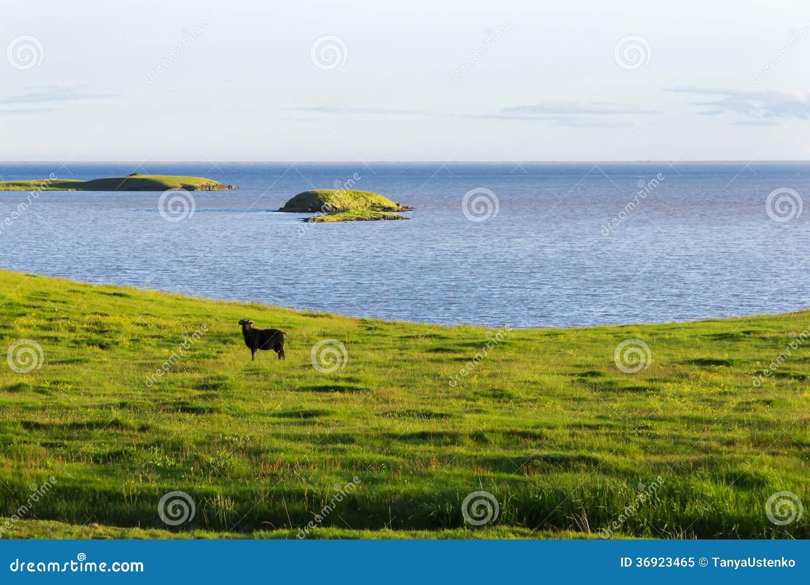 Iceland lata krajobraz. Kózka na dennym wybrzeżu w łąkach
