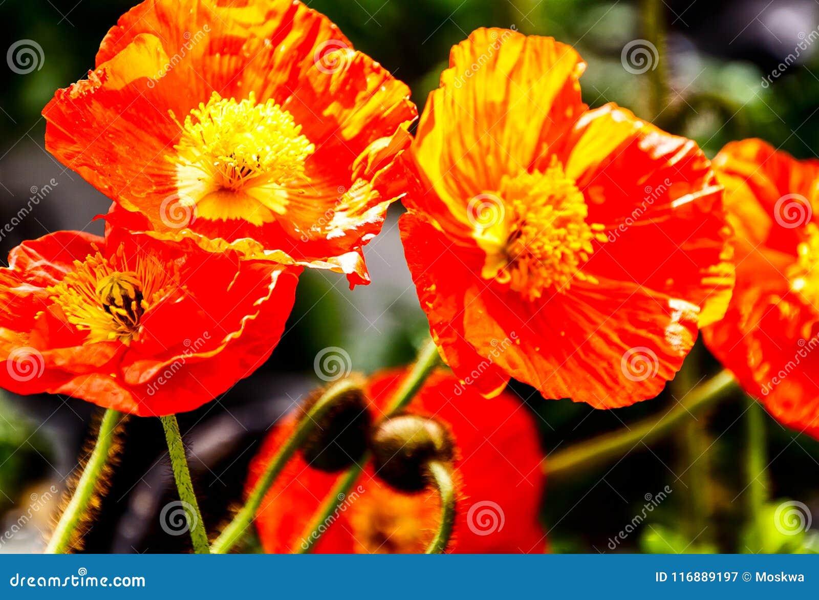 Papaver nudicaule the iceland poppy flowering plant stock image papaver nudicaule the iceland poppy flowering plant mightylinksfo