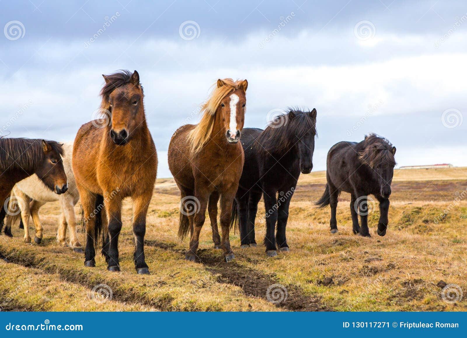 Icelandic лошади Красивые исландские лошади в Исландии Группа в составе исландские лошади стоя в поле с предпосылкой горы