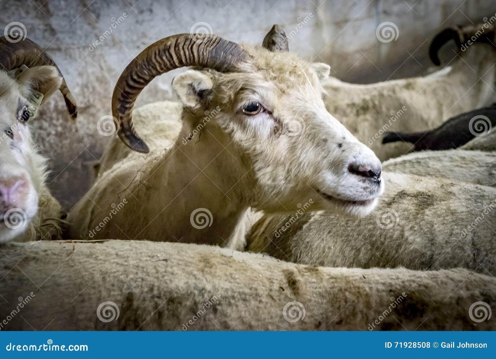 Icelandic овцы