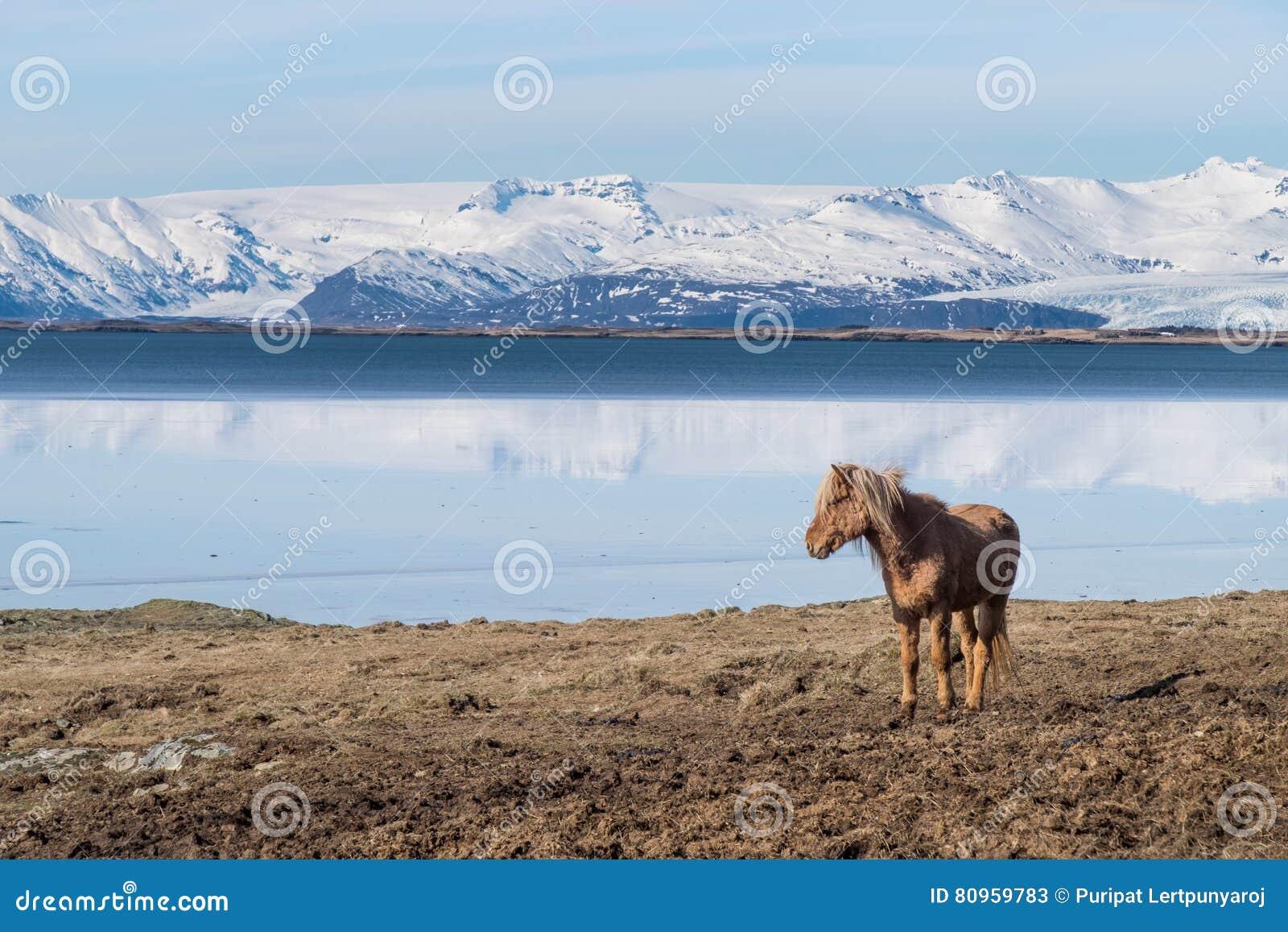 Icelandic лошадь