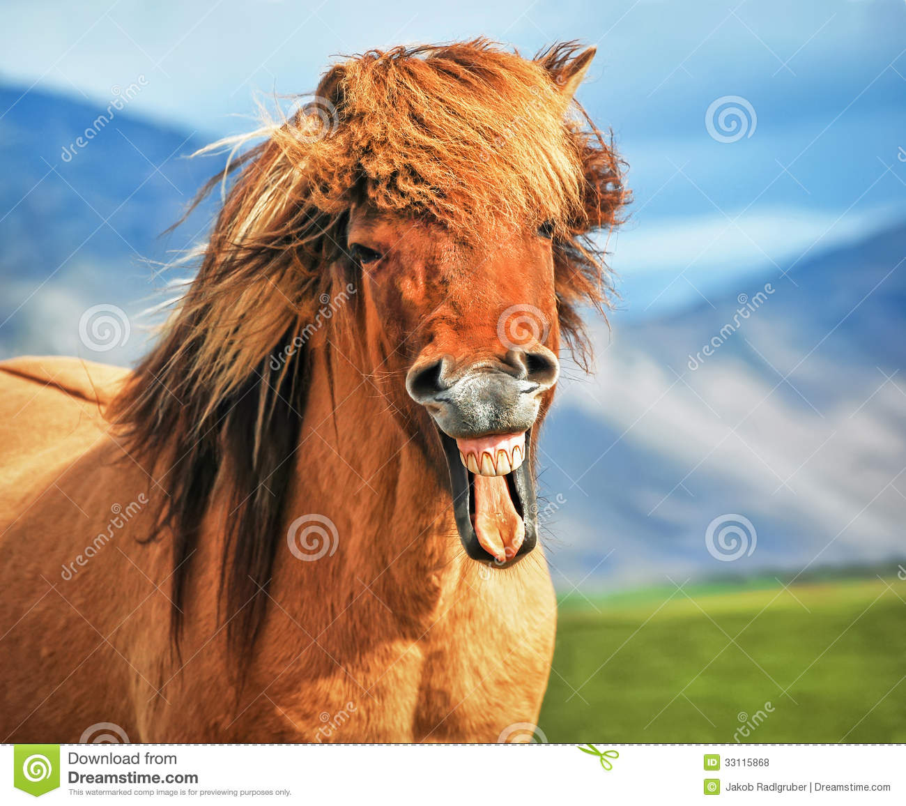 Icelandic Horse Smiling Royalty Free Stock Photos Image