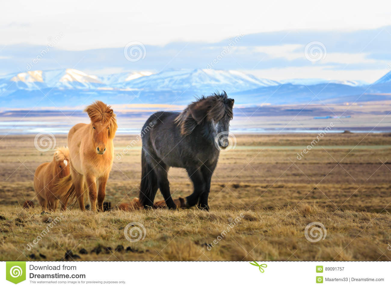 Icelandic horses looking at the viewer in front of snow covered mountains and a lake