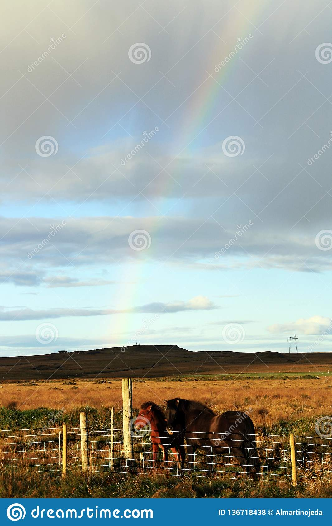 Icelandic horses in a sunny day with a beautiful rainbow.