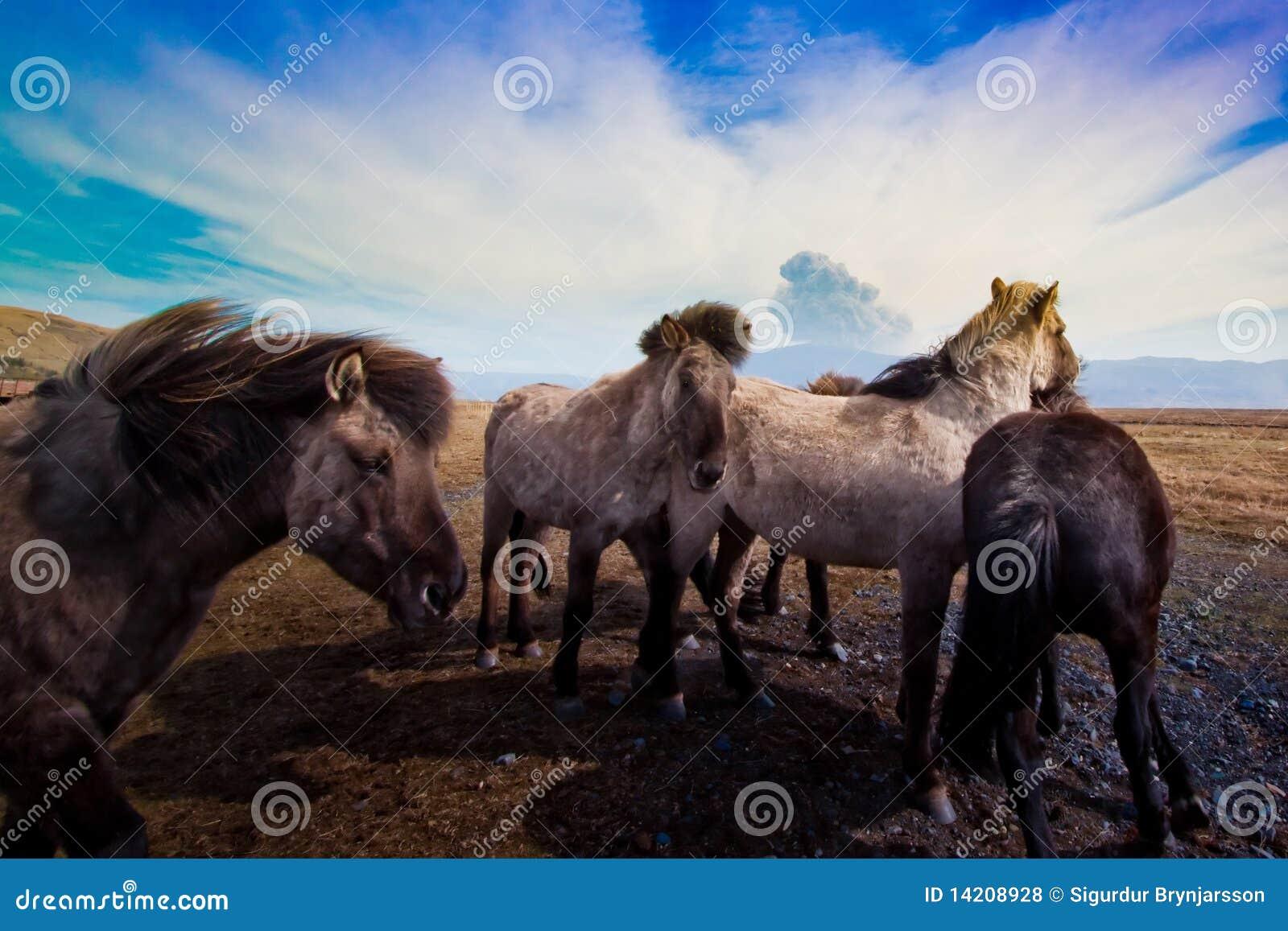 Icelandic horses and volcano