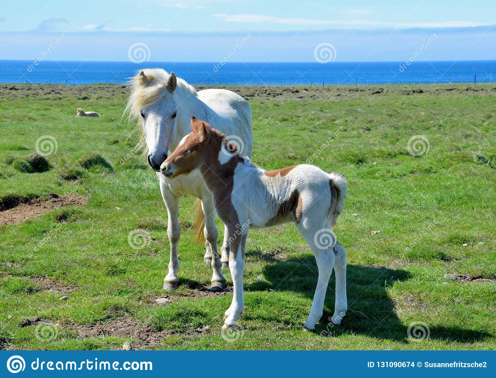 Icelandic mare with its cute pinto foal.