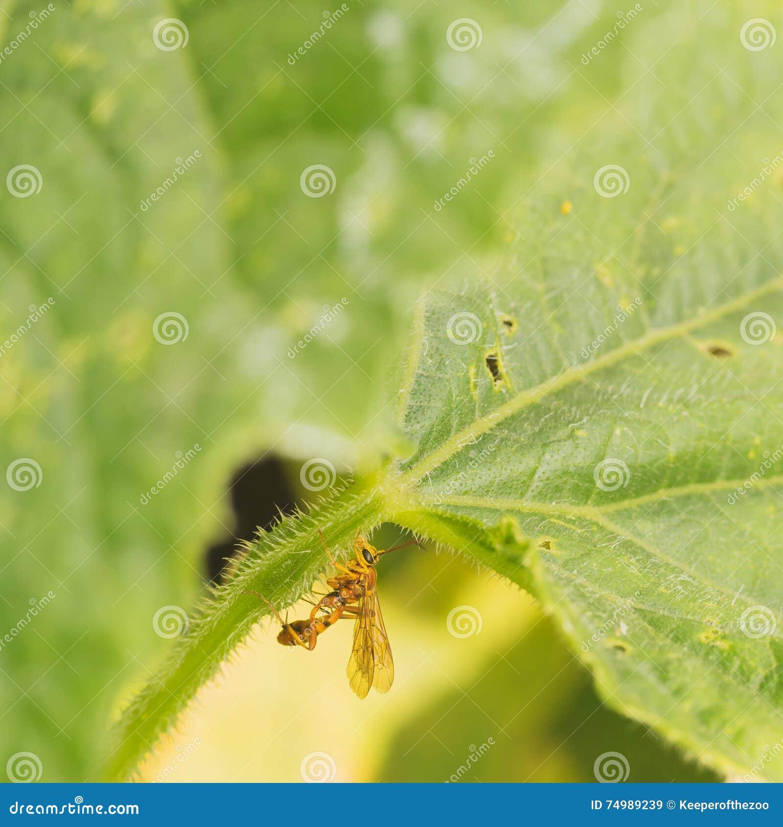 Ichneomon Wasp on Leaf Stem