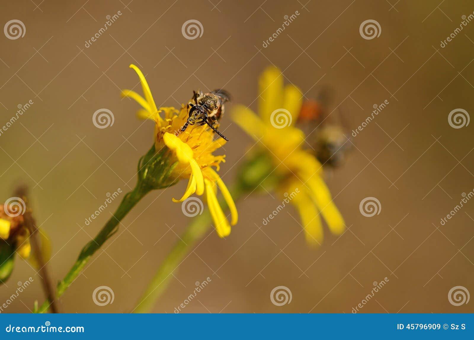Ichneumon på den gula vildblomman