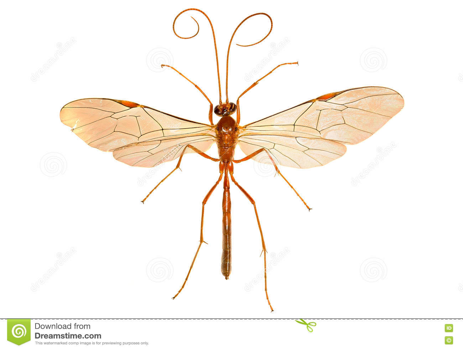 Ichneumon Wasp på vit bakgrund