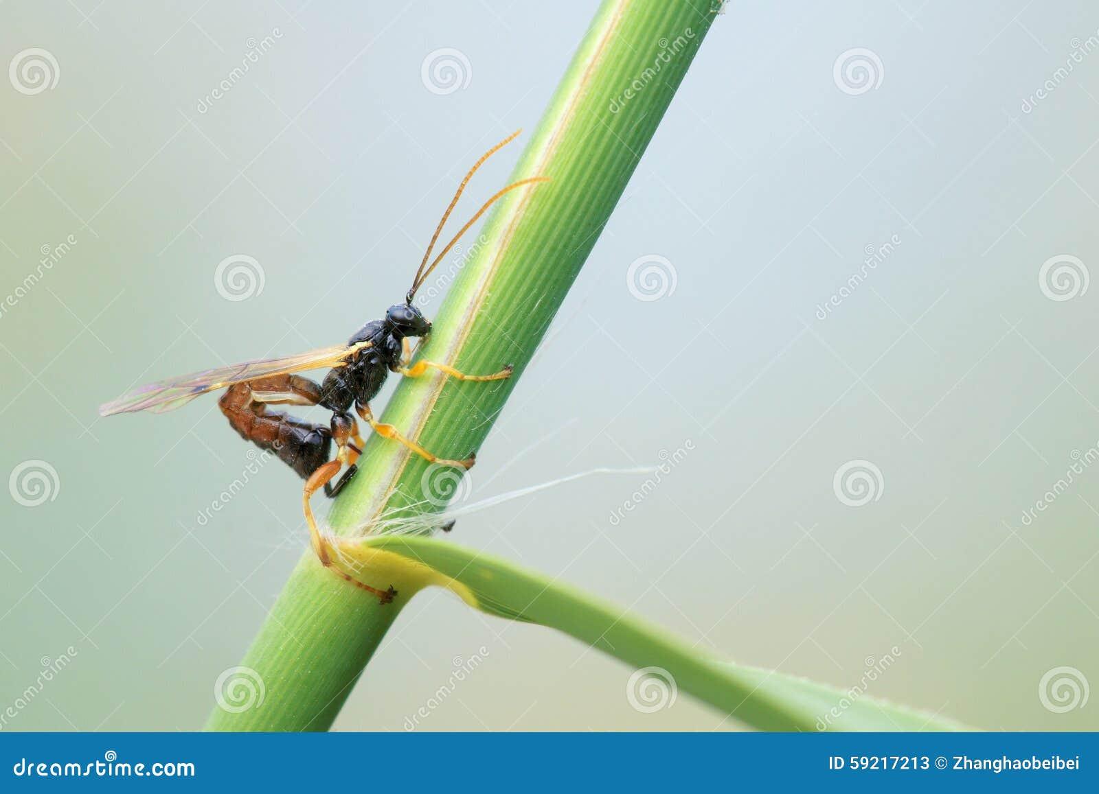 Ichneumonfluga