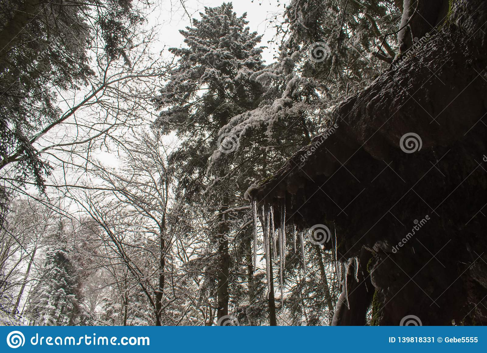 Icicle and fresh snow in a forest with tall trees in Switzerland