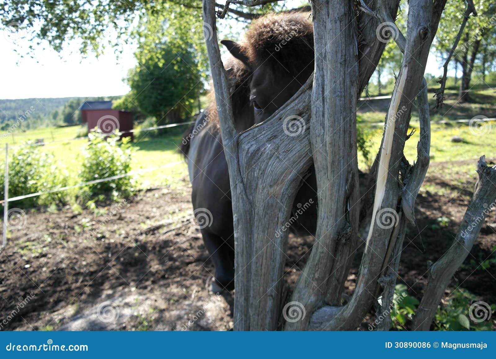 Iclelandic Horse Behind A Tree Royalty Free Stock Image