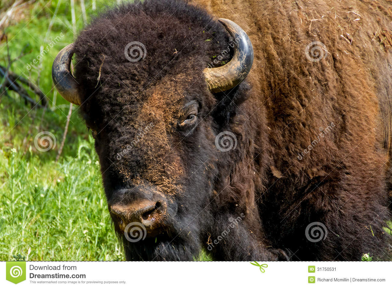Bison Oklahoma An Iconic American Bis...
