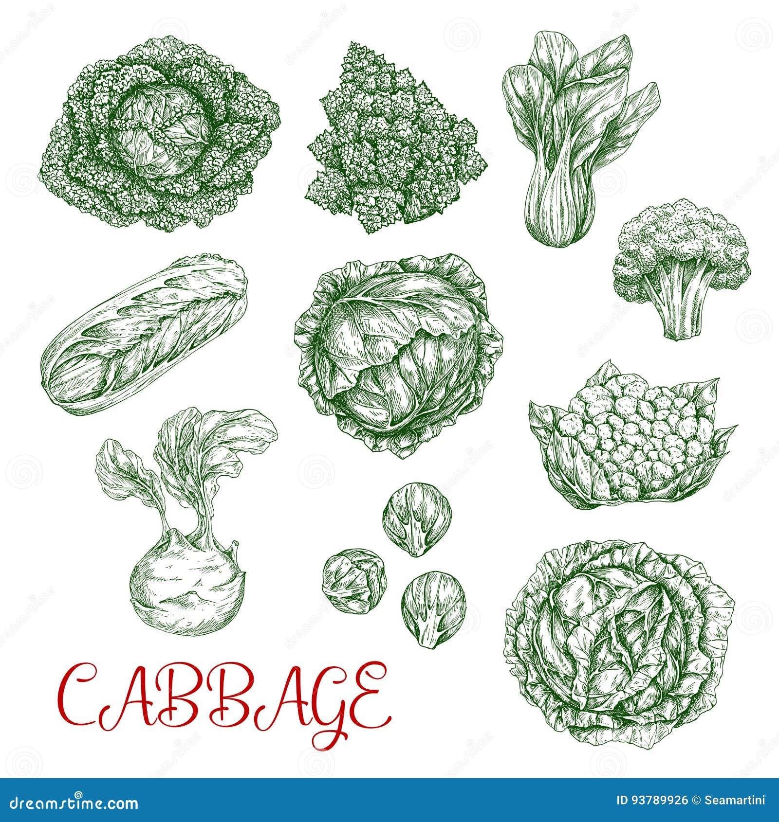 Iconos del bosquejo del vector de la col de verduras