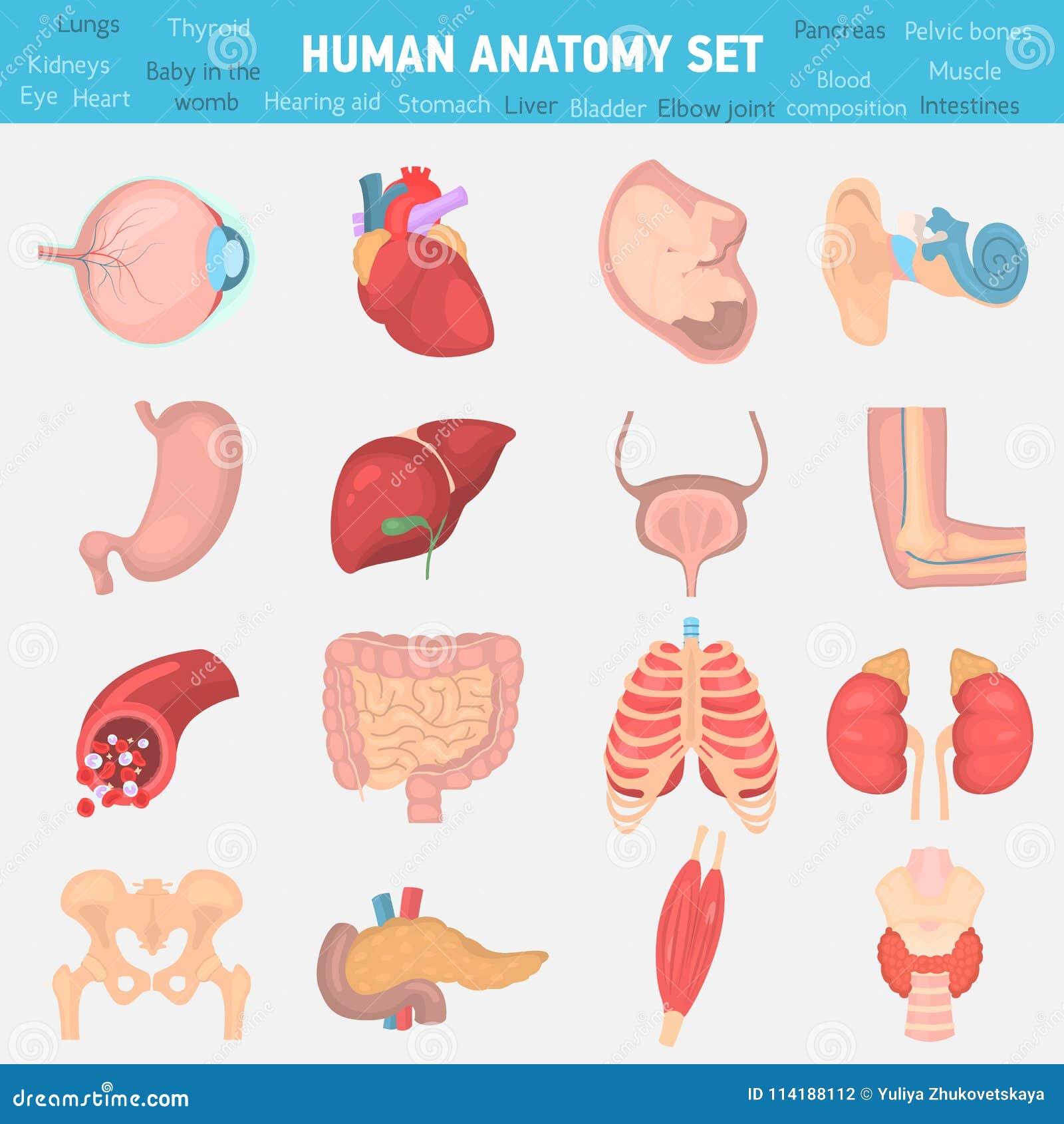 Iconos Planos Del Color Humano De La Anatomía Fijados Stock de ...
