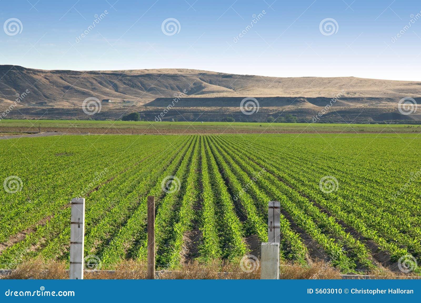Idaho corn field