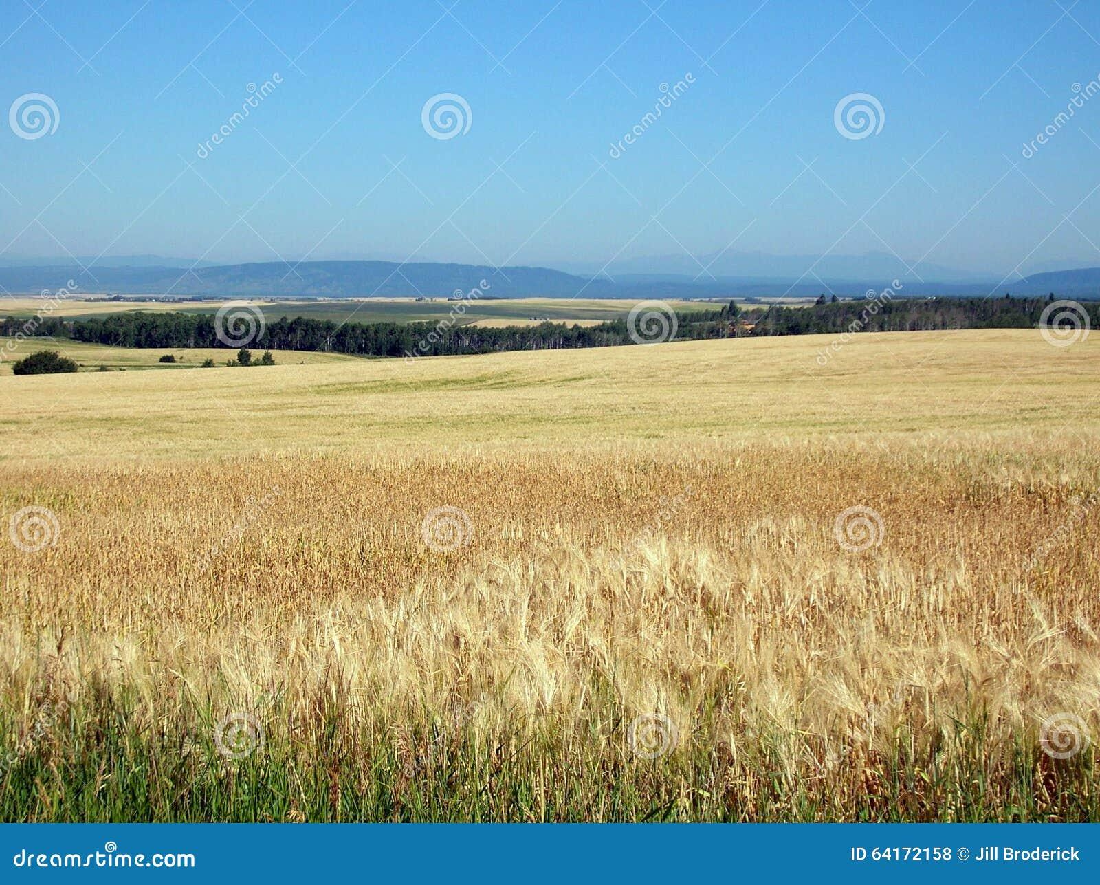 fields idaho reservoir ririe summer wheat ...