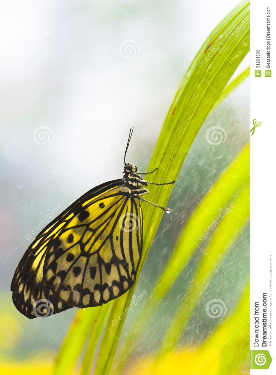 butterfly in thesis time Excerpt from the emergency butterfly dam on the chicago drainage canal at lockport, illinois: thesis the sanitary and ship canal was started september 3, 1892 and on january 2, 1900 water was turned in for first time.