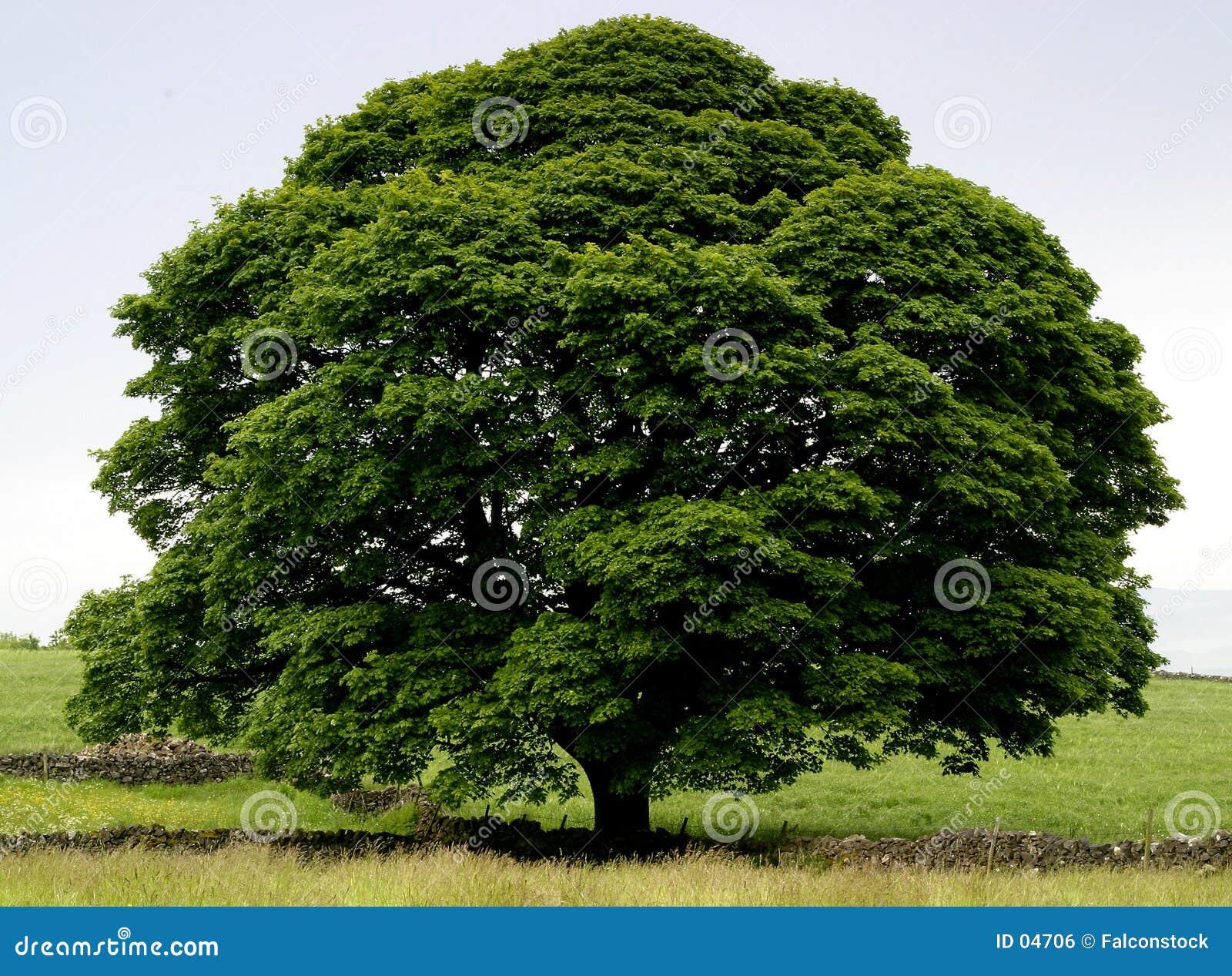 Idealny drzewo